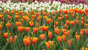 Spring time in West Michigan means tulip time!